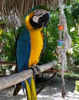 Ardastra Parrot 1 by NativeStew