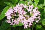 Lilac-flowers-1a