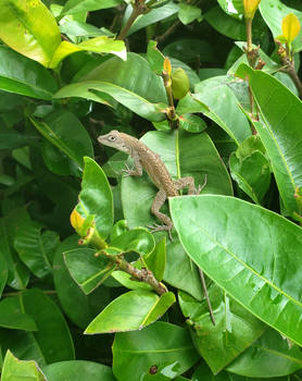 Lizard-Hedge