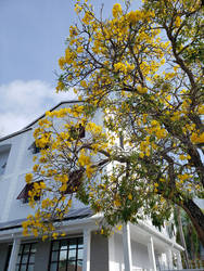 Insurance Management Yellow Trumpet Tree