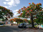Collins Ave. Poinciana