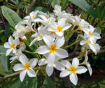 Frangi Pani Bouquet