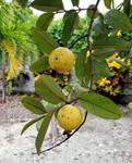 Bahamian Guavas
