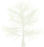 Snow White Pine Tree png