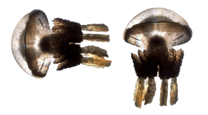 Jelly Fish png