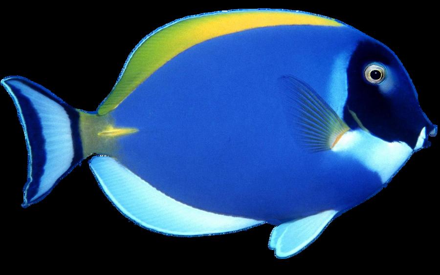 Blue Fish png