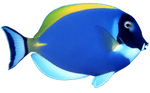 Blue Fish png