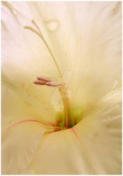 gladiolus.magnificus