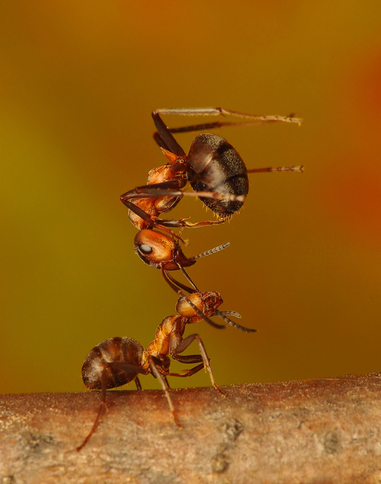 strong ant by benas1971