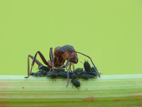Formica pratensis - Red wood ant