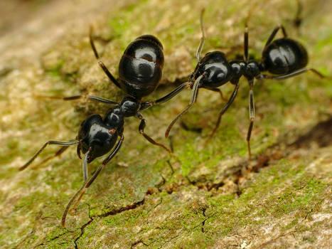Jet Black Ant - Lasius Fuliginosus