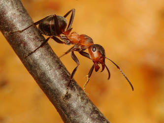 Black-backed Meadow Ant - Formica pratensis