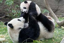 Panda bear and cub by vety122