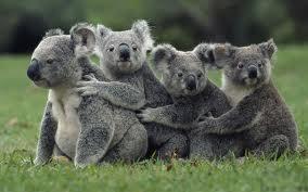Koala :D by vety122