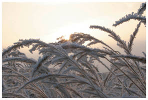 Frozen grasses by Slawin
