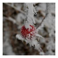 A frozen wild rose fruit by Slawin