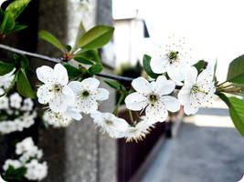 White flowers by Inopportunee