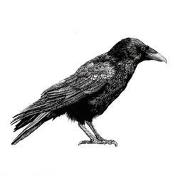 Profile Crow