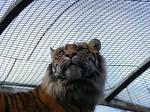 Sumatran Tiger 08