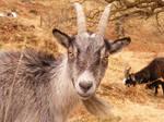 Wild Goats 16