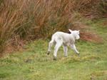 Lamb 01