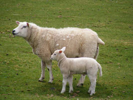 Sheep and Lambs 08 by Axy-stock