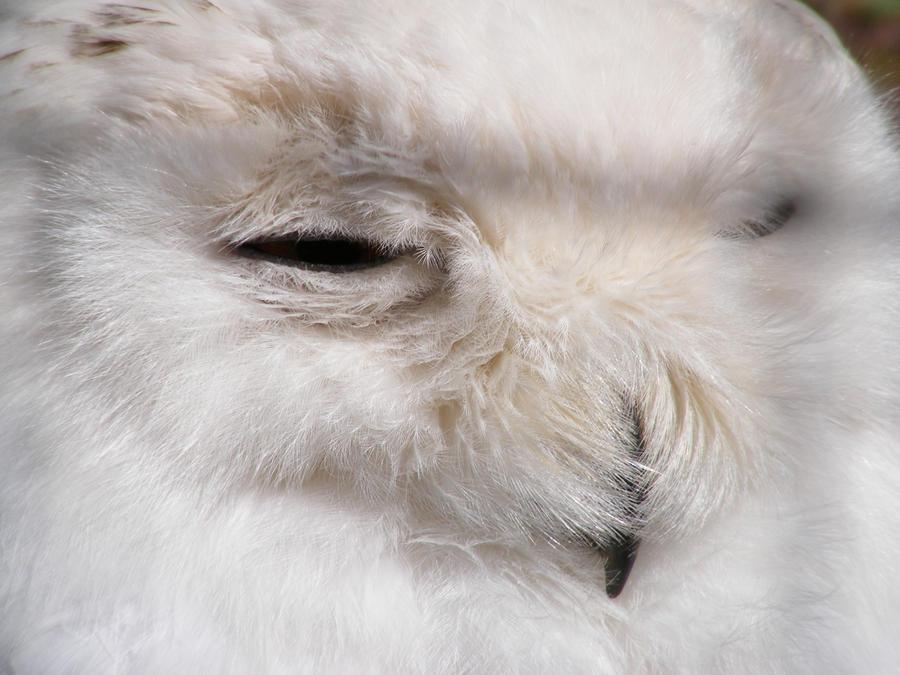 Snowey Owl 03 by Axy-stock