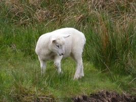 Lamb 03 by Axy-stock