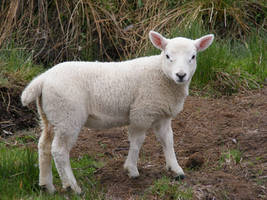 Lamb 04 by Axy-stock