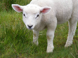 Lamb 06 by Axy-stock