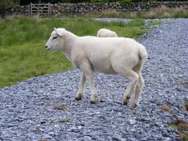 Lamb 09 by Axy-stock