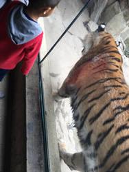 Zoo trip Tiger highlight