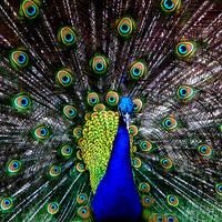 Indian Blue Peacock by DieselFuel