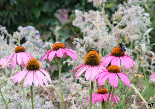 Carpenter bee and Bumblebee 1