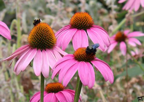 Carpenter bee and Bumblebee 2