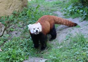 red panda 1