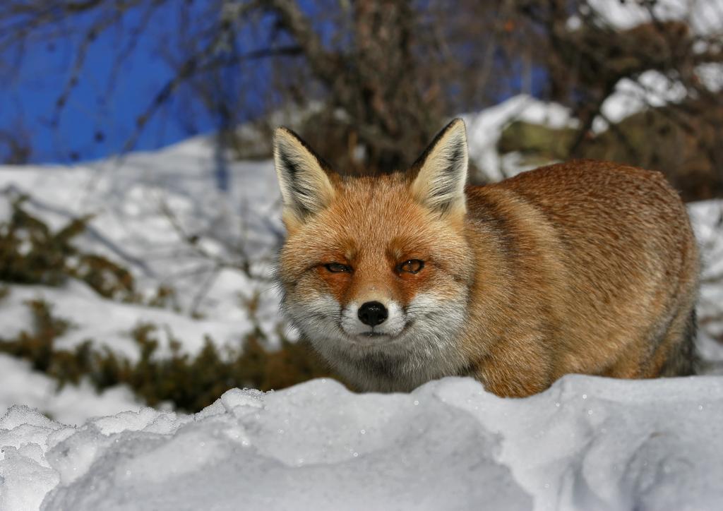 Fox in the Snow by FarStar90
