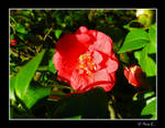 Red Flower by Ana-D