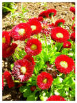 Red Flowers by Ana-D