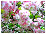 Sakuras by Ana-D
