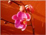 Blossom by Ana-D