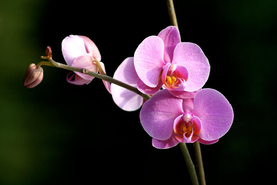 Pink orchid 6 by xanderking on deviantart pink orchid 6 by xanderking mightylinksfo
