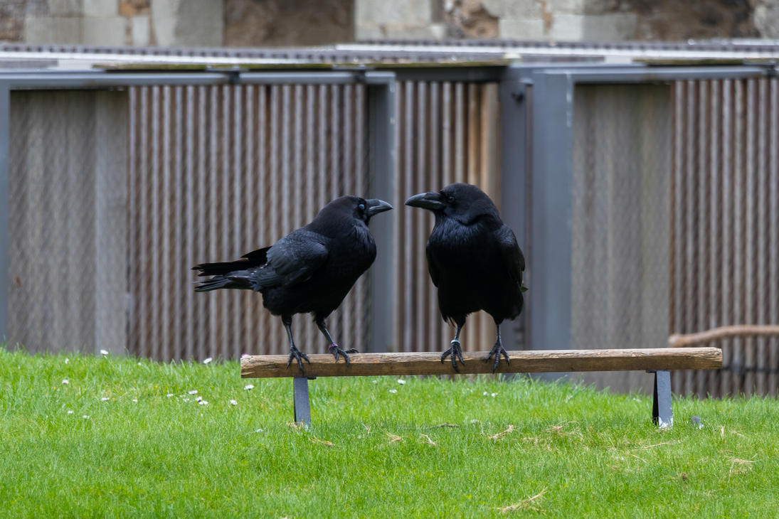 London Tower Ravens by Elthaniel
