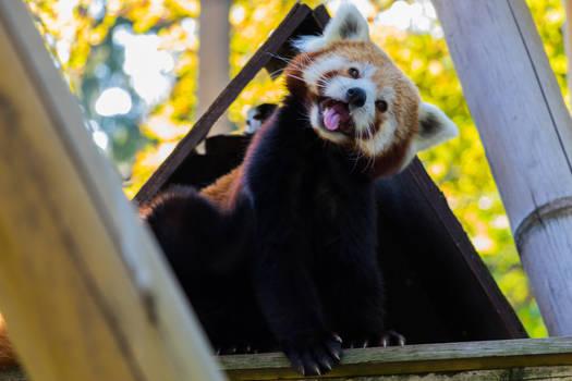 Red Panda, always