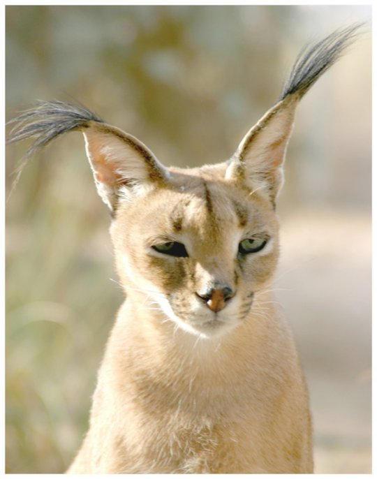 Karakal - desert cat by Shim11 on DeviantArt: shim11.deviantart.com/art/Karakal-desert-cat-3760808