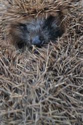 Hedgehog by Mariestel