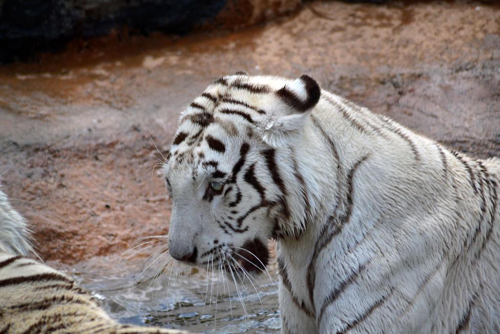 White tiger by Mariestel