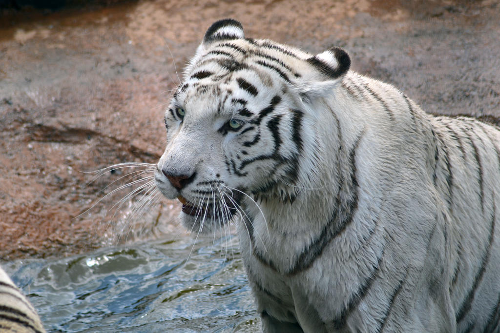 White tiger 2 by Mariestel