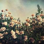 poppies II