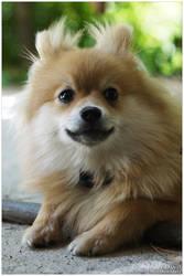 Pomeranian by lizzys-photos
